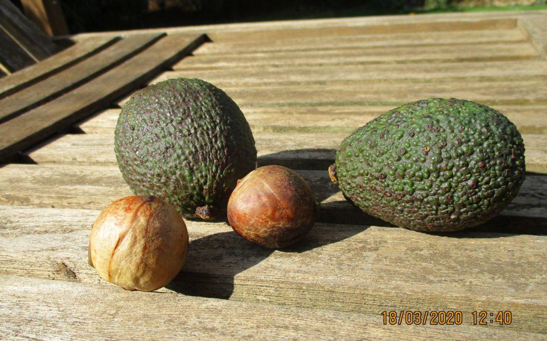 Eine Avocadopflanze selber züchten